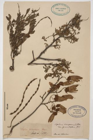 Large-leaved kowhai, Sophora tetraptera J.F.Mill.; uncertain