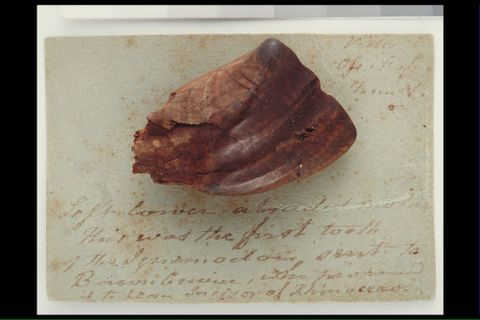 Iguanodon tooth from Tilgate Forest, West Sussex, England, 1820 GH004839 (image/tiff)