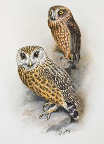1992-0035-2366/74; Morepork (Ruru) (above) / Laughing owl (Whekau); 1913 - 1914; Lodge, George ; without frame (image/jpeg)