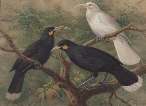Three huia (Heteralocha acutirostris), circa 1900, London, by Johannes Keulemans. Purchased 1993 with New Zealand Lottery Grants Board funds. Te Papa (1993-0029-6).