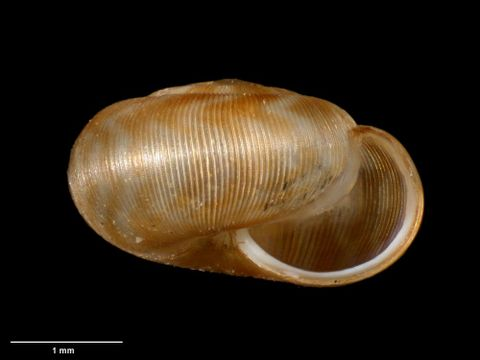 To Museum of New Zealand Te Papa (M.023580; Allodiscus kakano B. Marshall & Barker, 2008; holotype)