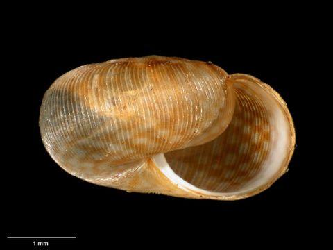 To Museum of New Zealand Te Papa (M.169536; Allodiscus goulstonei B. Marshall & Barker, 2008; holotype)
