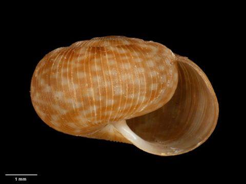 To Museum of New Zealand Te Papa (M.180017; Allodiscus pumilus B. Marshall & Barker, 2008; holotype)