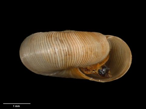 To Museum of New Zealand Te Papa (M.180065; Allodiscus patulus B. Marshall & Barker, 2008; holotype)
