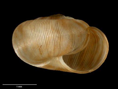To Museum of New Zealand Te Papa (M.183094; Allodiscus pygmaeus B. Marshall & Barker, 2008; holotype)