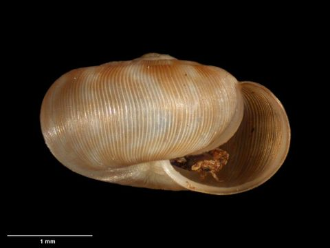 To Museum of New Zealand Te Papa (M.183095; Allodiscus tawhiti B. Marshall & Barker, 2008; holotype)
