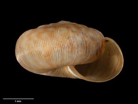 To Museum of New Zealand Te Papa (M.183100; Allodiscus yaldwyni B. Marshall & Barker, 2008; holotype)