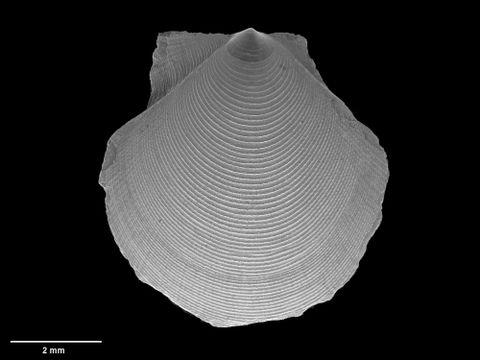 To Museum of New Zealand Te Papa (M.173000; Parvamussium cancellorum Dijkstra & B. Marshall, 2008; holotype)