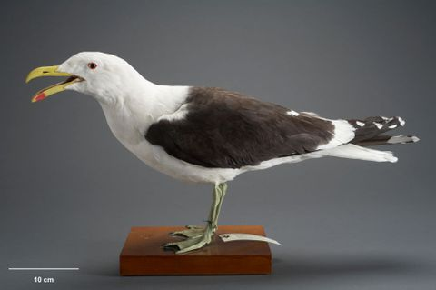 Southern Black-backed Gull, Larus dominicanus