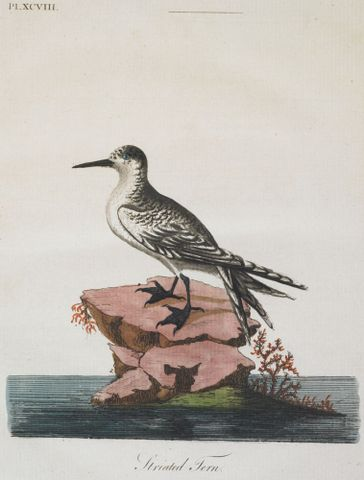2004-0025-5; Striated (white-fronted) Tern. Plate XCV111. From A General Synopsis of Birds; 1795; Latham, John ; without frame (image/jpeg)