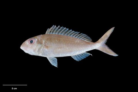 Recent bony fishes (Teleostei)
