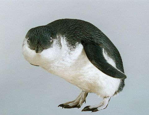 Little blue penguin (Eudyptula minor) or korora