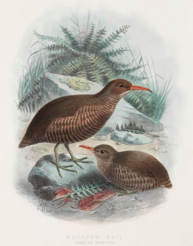 Hutton's rail. Cabulus modestus. (Four-fifths natural size). Plate 3. From the book Supplement to the Birds of New Zealand Vol. 1