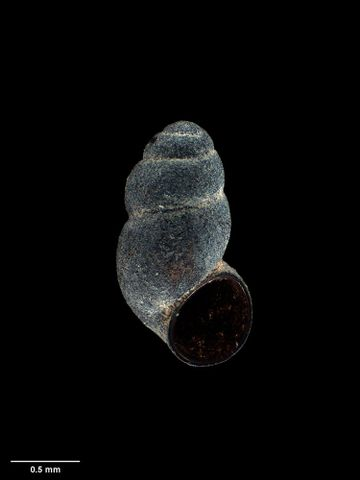 To Museum of New Zealand Te Papa (M.174175; Tongapyrgus kohitatea Haase, 2008; holotype)