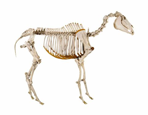 Reconstruction of racehorse Phar Lap's skeleton (time lapse)