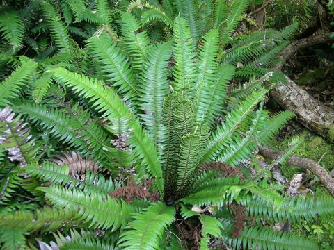 Origins of New Zealand's ferns