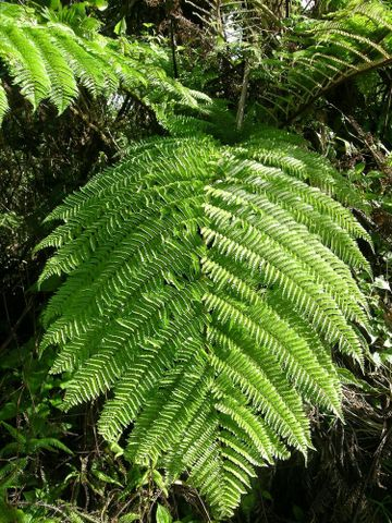Te Papa's list of Fijian ferns and lycophytes