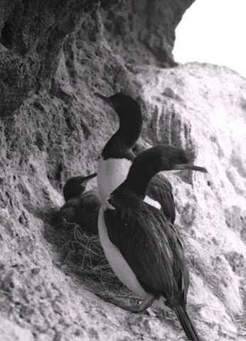 Campbell Island shag pair with chick at nest, Campbell Island. (image/jpeg)