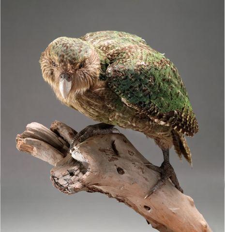 Kakapo - Strigops habroptilus - OR.025736