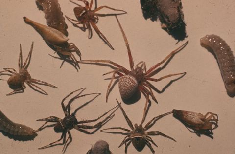 CT.060309; Paralysed spiders from Mason bees nest, larvae and pupa; 19/02/1962; Sharell, Richard (image/tiff)