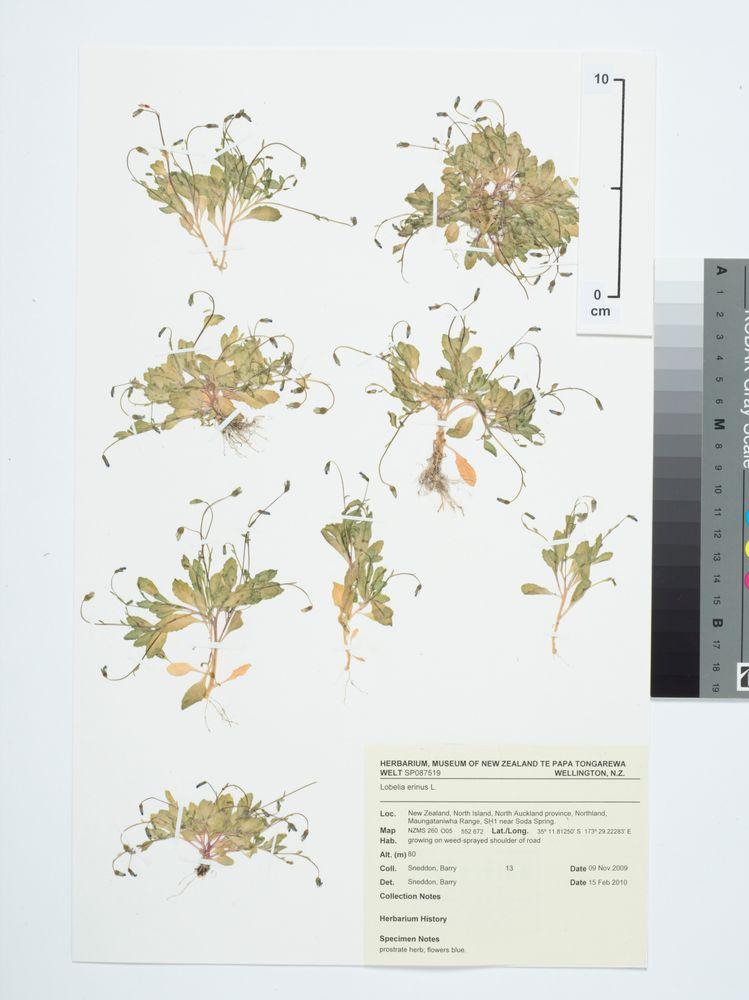 Bedding Lobelia Lobelia Erinus L Collections Online Museum Of