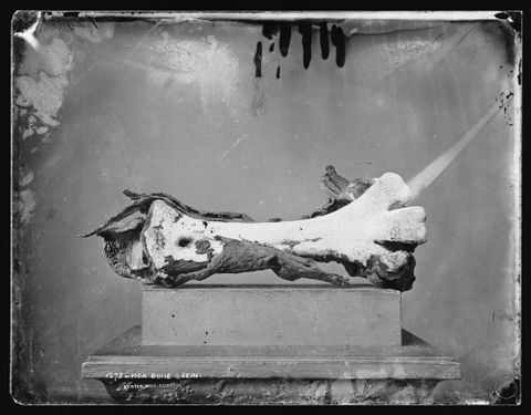 Moa bone and skin