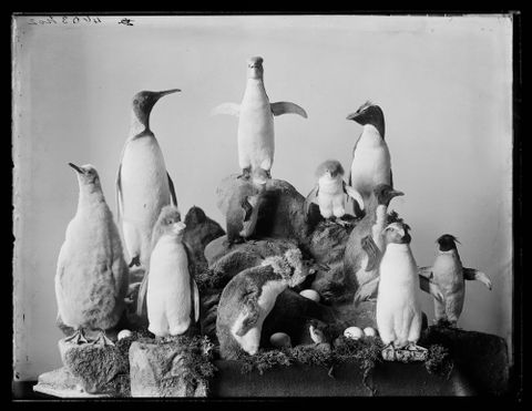 Penguins: under-utilised in the world of LOLanimals. [Group of Penguins], Dunedin, by Burton Brothers, maker unknown. Te Papa (C.018345)