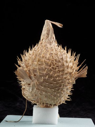 FE010482; Puffer fish helmet; 1900 s; Kiribati; Unknown ; view 5 (image/tiff)
