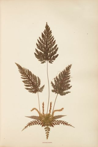 Pressed and mounted fern specimen: Trichomanes elongatum