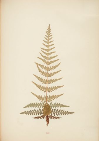 Pressed and mounted fern specimen: Pincisa