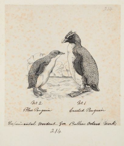 Eudyptula minor (Little penguin). Crested penguin. Formerly Blue penguin. Crested penguin.