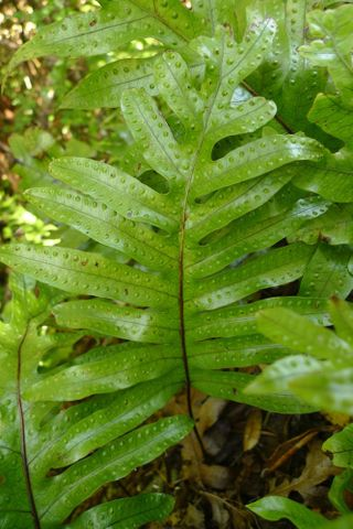 topic common new zealand ferns - Fern Types
