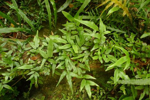Jointed fern, Arthropteris tenella (G.Forst.) Hook.f.