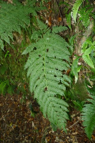 single crape fern