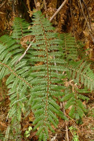 prickly shield fern