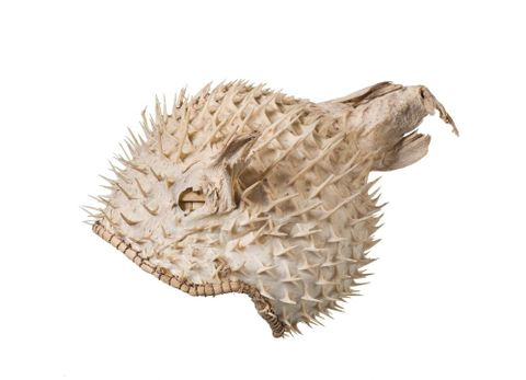 FE010482; Puffer fish helmet; 1900s; Kiribati; Unknown ; view 1 (image/tiff)