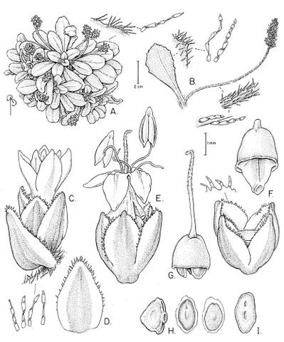 Drawing of Plantago picta