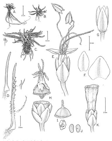 Drawing of Plantago obconica