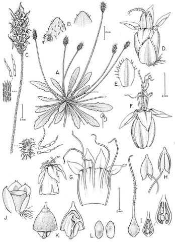Drawing of Plantago udicola