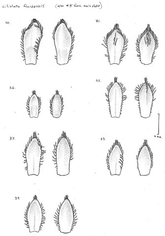 Drawing of Veronica ciliolata subsp. fiordensis