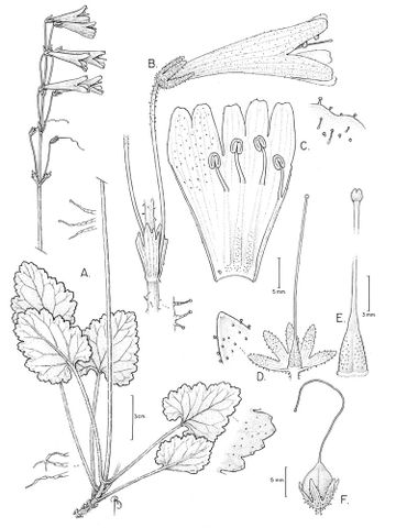 Drawing of Ourisia coccinea subsp. elegans