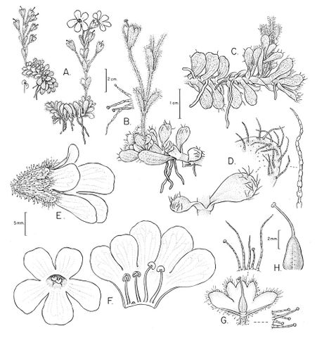 Drawing of Ourisia glandulosa