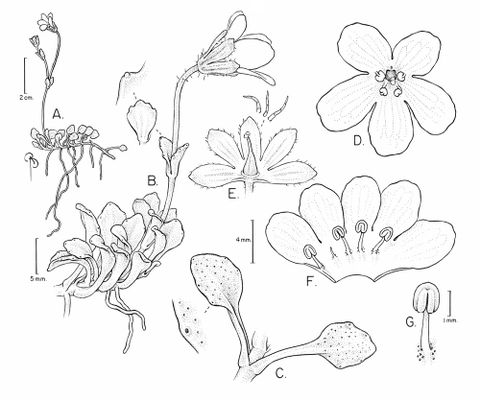 Drawing of Ourisia integrifolia