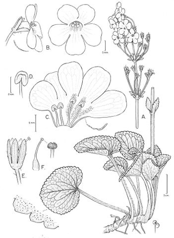 Drawing of Ourisia macrocarpa