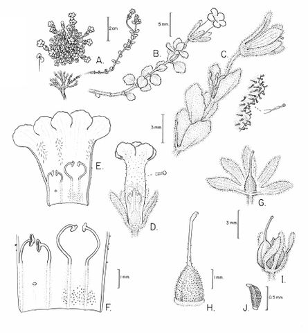 Drawing of Ourisia serpyllifolia