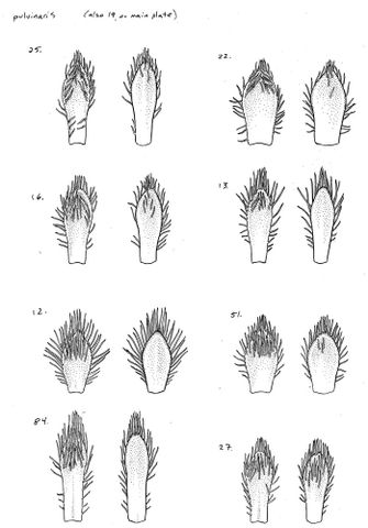 Drawing of Veronica pulvinaris