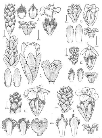 Drawing of various Veronica taxa