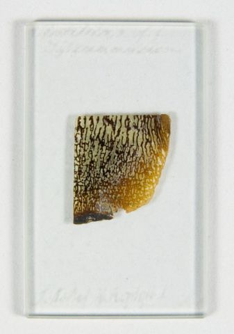 TMP016815; Section of Toe-Bone of Iguanodon. ; view 2 (image/tiff)