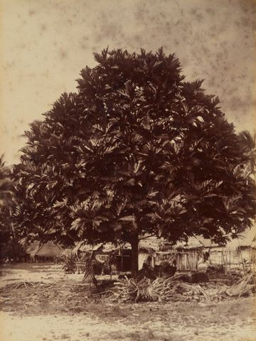 O.037838; Bread fruit tree Nui. From the album: Views in the Pacific Islands; 1886; Andrew, Thomas ; without frame (image/jpeg)