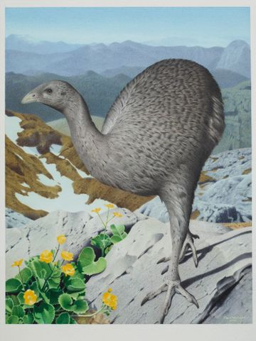 2006-0010-1/16; Upland Moa. Megalapteryx didinus. From the series: Extinct Birds of New Zealand.; 2005; Martinson, Paul (image/tiff)
